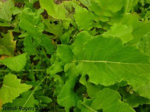 turnip leaves in the garden